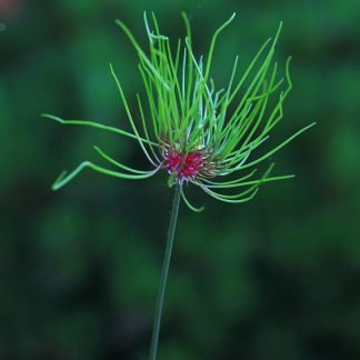 allium-hair